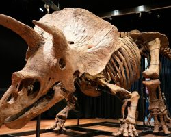 Şimdiye kadar bulunan en büyük triceratops iskeleti 6,6 milyon euroya satıldı.